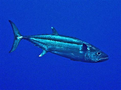 dogtooth tuna wikipedia