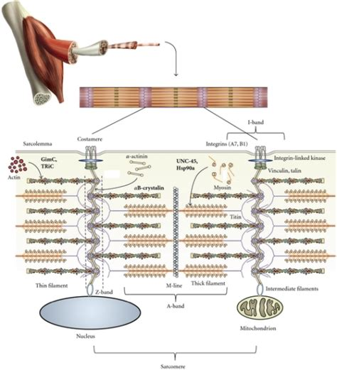 striated cell diagram schematic diagram of the sarcomere and costamere protein