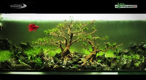aquascape betta pretty complicated for a betta tank indonesia aquascape
