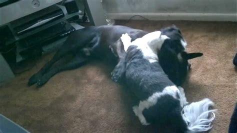 bull terrier shih tzu shih tzu attacks rottweiler cross staffordshire bull terrier p1