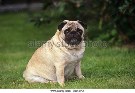 fattest pug pug stock photos pug stock images alamy