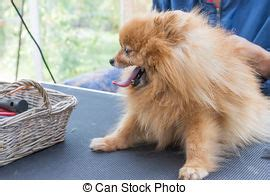 pomeranian side view portrait of sitting pomeranian spitz isolated on white stock photography search