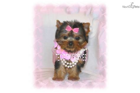 yorkie doll meet lil doll a terrier yorkie puppy for sale for 1 799 baby doll