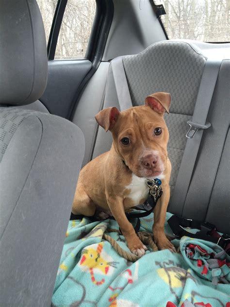 pitbull puppies rescue casa toro pit bull rescue petfinder foundation
