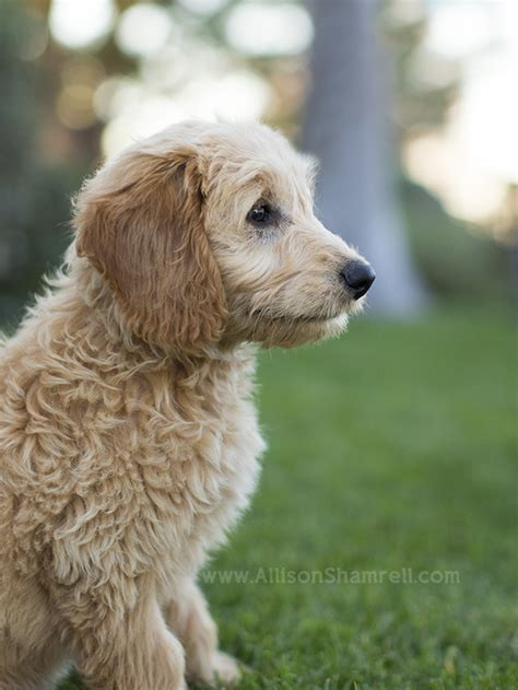 goldendoodle puppy chewing backyard archives san diego pet photographer allison