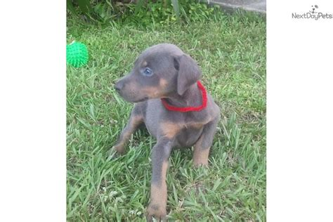 blue doberman pinscher puppies for sale pin blue doberman puppies for sale httpwwwhooblycomr blmi1dblue on