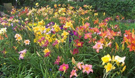 Daylilies For Shade Daylily Garden Coach Photos