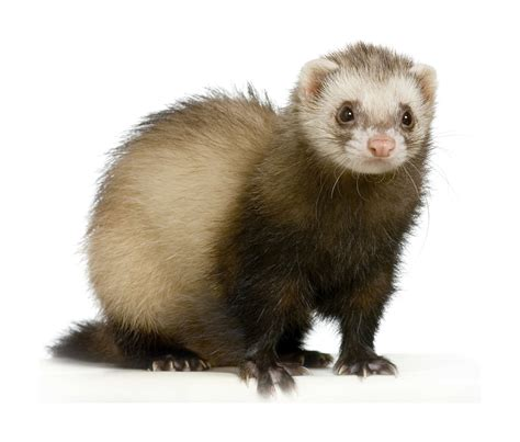 dat freret of ferret