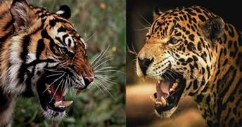 Jaguars Vs Tigers Jaguar How Alive Are You 2016 Car Release Date