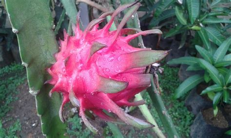 Jual Bibit Buah Naga Orange bibit tanaman buah unggul tamora unggul nursery buah