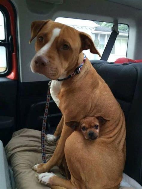 how in between puppies puppy in between big dogs luvbat