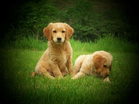 golden retriever puppies for sale swansea 1 handsome golden retriever pup for sale swansea swansea pets4homes