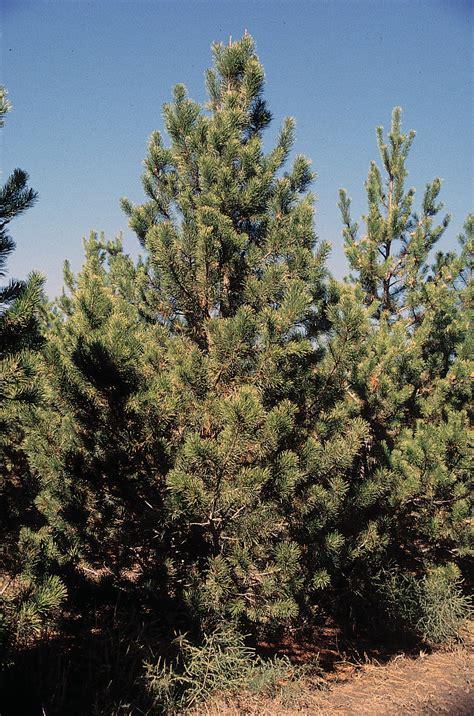 tree pic file pinus contorta latifolia tree jpg wikimedia commons