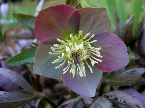 helleborus x nigercors honeyhill joy carolyn s shade