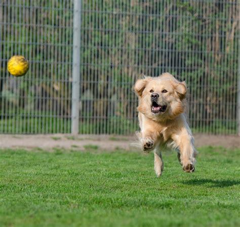golden retriever animal shelter free photo golden retriever animal shelter free image on pixabay 750587