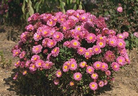 28 best are mums perennials mei kyo mums are true perennials perennials pinterest are mums