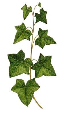 edera in vaso pianta di edera in vaso diam 10