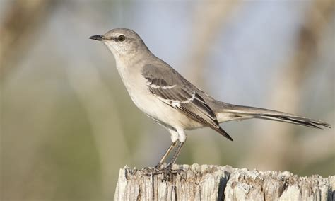 A Mocking mimus polyglottos northern mockingbird