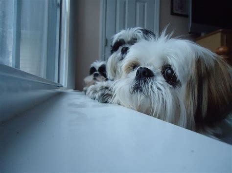shih tzu throwing up 1000 ideas about maltese shih tzu on yorkie shih tzu and maltese