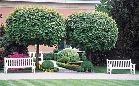 designer trees acer platanoides globossum designer mop top maple tree