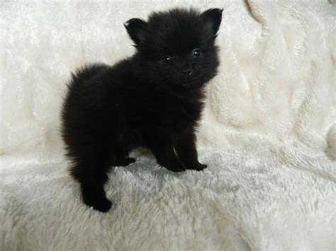 black micro teacup pomeranian black teacup pomeranian