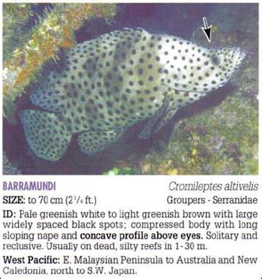 Ikan Kerapu Mulut Tikus Beku ikan kerapu tikus cromileptes altivelis andihaerul