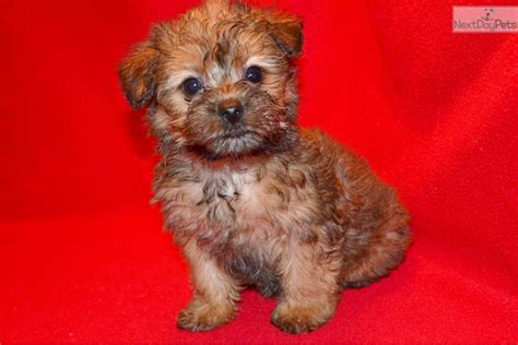 micro teacup yorkie poo puppies for sale micro yorkie poos for sale breeds picture