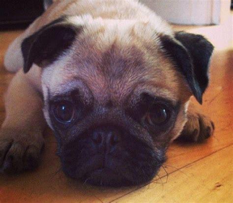 pug miniature stunning genuine miniature pug pup bristol