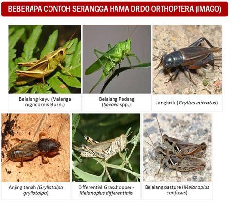 mengenal ordo serangga hama orthoptera