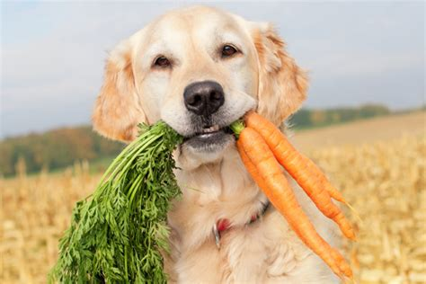 can i feed my puppy carrots can your or cat become a vegetarian
