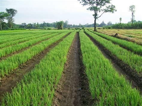 Bibit Bawang Merah Sayur cara menanam dan budidaya bawang daun pertanian