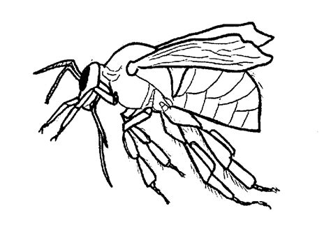 Coloring Honey Bee Clipart Best Clipart Best Honey Bee Coloring Page