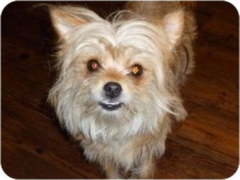 crested powder puff yorkie mix pet not found