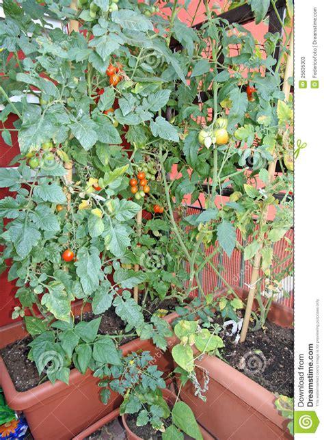 pomodori coltivati in vaso piante con i pomodori coltivati in un vaso sul terrazzo di