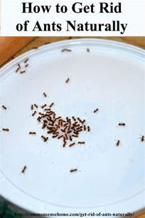 getting rid of ants in the kitchen top how to get rid of