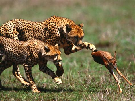 Animal World 5 animals world animals of cheetahs pictures