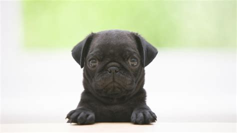 free pug puppies in pug puppies wallpaper hd 10 free wallpaper hivewallpaper