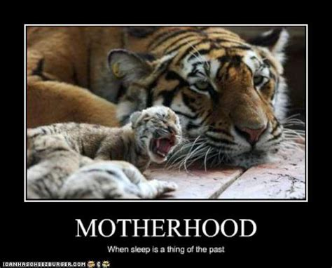 Funny Tiger Memes - funny pictures mom tiger does not sleep w630