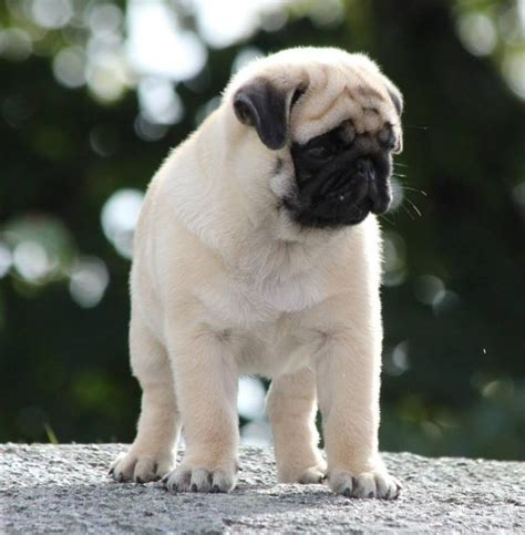how much does a baby pug cost 54 best images about pugs on pizza i want and pug