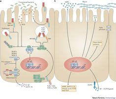 pattern recognition receptors wiki 1000 images about 4 immunology innate immunity