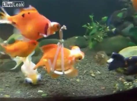 pet owner   goldfish   disabled   built