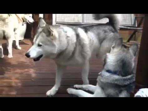 how to your husky to be a guard husky guard