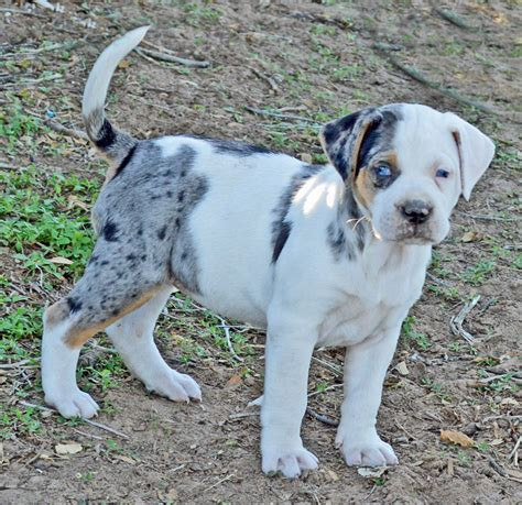 catahoula leopard for sale for sale rancho santiago catahoula leopard dogs rancho santiago