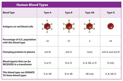 Blood Types And Transfusions Worksheet by C Marsh Preparatory Middle School 7th Grade