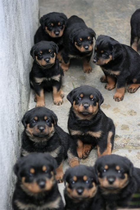 rottweiler cost 13 reasons to avoid rottweilers at all costs