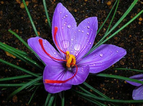 saffron crocus sativus