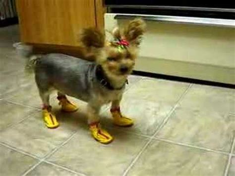 boots for yorkies these boots were made for walking