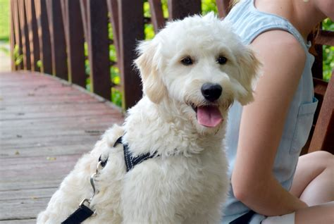 Junie Medium Goldendoodle Panting Timberidge