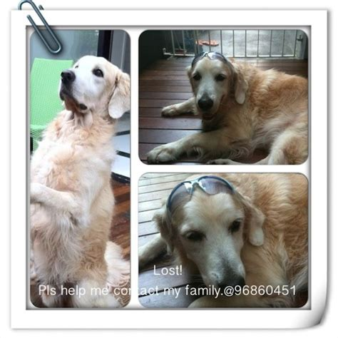 missing golden retriever you seen this missing golden retriever lost at bedok road