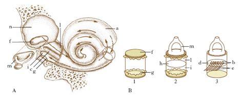 pressione orecchio interno orecchio nell enciclopedia treccani